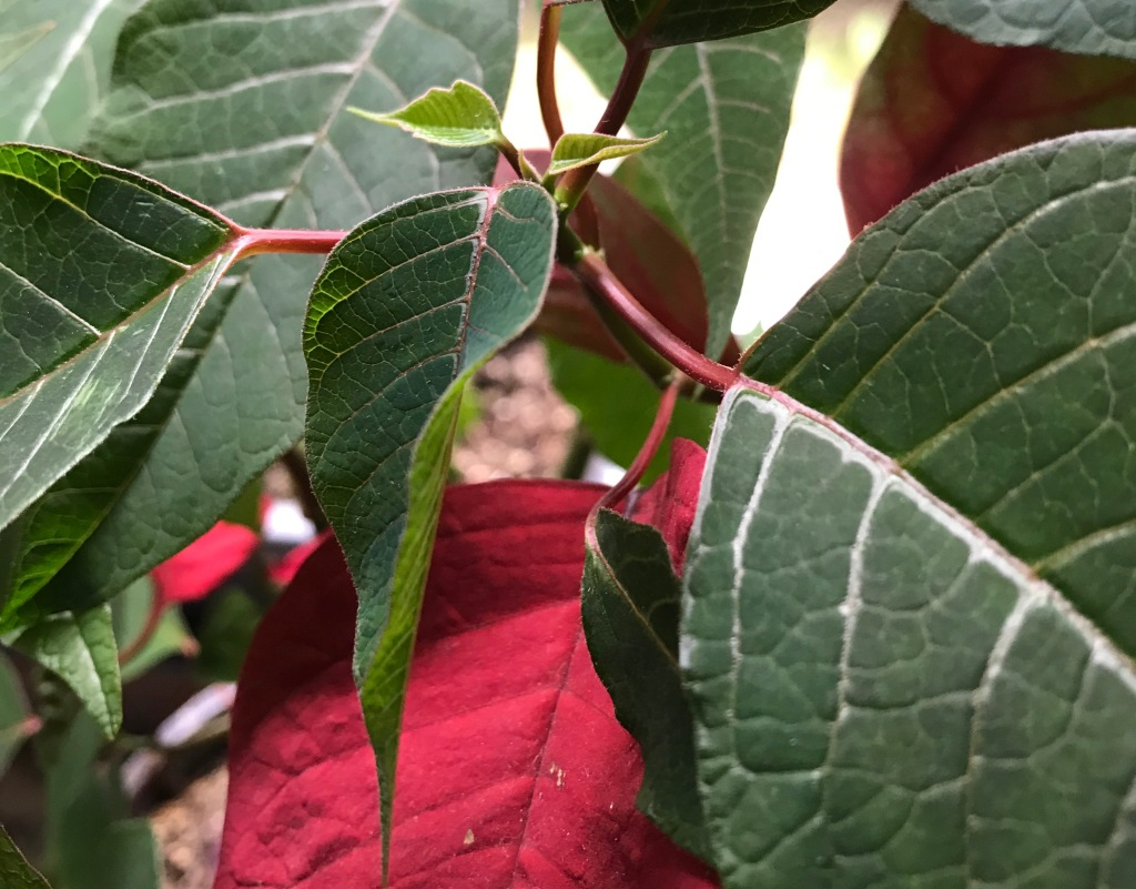 Close up on a poinsettia showing two new pale green leaves against a background of dark green and red leaves
